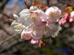 新宿御苑2月の花_2