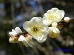 神代植物公園の2月の花_7