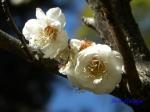 神代植物公園の2月の花_8