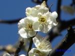 神代植物公園の2月の花_11