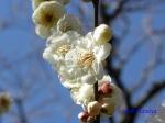 神代植物公園の2月の花_13