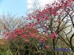皇居東御苑3月上中旬の桜_1