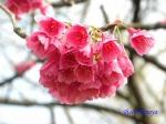 皇居東御苑3月上中旬の桜_2