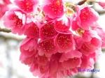 皇居東御苑3月上中旬の桜_3