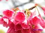 皇居東御苑3月上中旬の桜_4