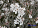 皇居東御苑3月上中旬の桜_5