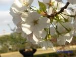 皇居東御苑3月上中旬の桜_7