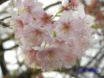皇居東御苑3月上中旬の桜_10
