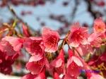 皇居東御苑3月上中旬の桜_11