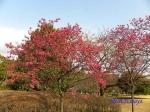 皇居東御苑3月上中旬の桜_12