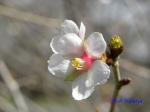 小石川植物園3月中旬の桜_1