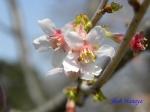 小石川植物園3月中旬の桜_2