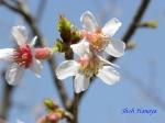 小石川植物園3月中旬の桜_3