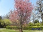 小石川植物園3月中旬の桜_4