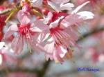 小石川植物園3月中旬の桜_5