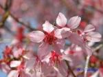 小石川植物園3月中旬の桜_6