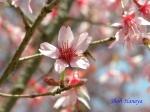 小石川植物園3月中旬の桜_7