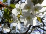 小石川植物園3月中旬の桜_9