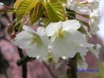 小石川植物園3月中旬の桜_10