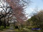 小石川植物園3月中旬の桜_11