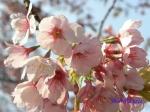 小石川植物園3月中旬の桜_12