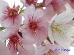 小石川植物園3月中旬の桜_13