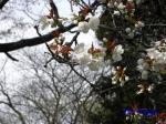 小石川植物園3月中旬の桜_14