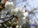小石川植物園3月中旬の桜_15