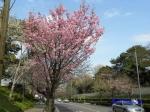 代官町通りの桜と千鳥ヶ淵公園_1