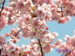 代官町通りの桜と千鳥ヶ淵公園_2