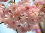 代官町通りの桜と千鳥ヶ淵公園_3
