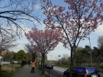 代官町通りの桜と千鳥ヶ淵公園_4