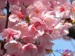 代官町通りの桜と千鳥ヶ淵公園_5