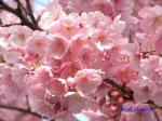 代官町通りの桜と千鳥ヶ淵公園_6