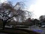 代官町通りの桜と千鳥ヶ淵公園_7