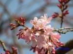 代官町通りの桜と千鳥ヶ淵公園_8