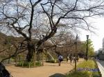 代官町通りの桜と千鳥ヶ淵公園_9