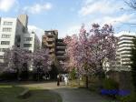 代官町通りの桜と千鳥ヶ淵公園_10