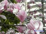 代官町通りの桜と千鳥ヶ淵公園_11