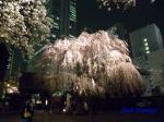 西新宿常圓寺の桜_4