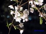 西新宿常圓寺の桜_5