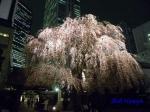 西新宿常圓寺の桜_6