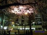西新宿常圓寺の桜_9