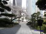 西新宿常圓寺の桜_13