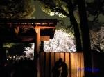 六義園のしだれ桜ライトアップ_2