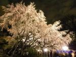 六義園のしだれ桜ライトアップ_6
