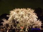 六義園のしだれ桜ライトアップ_8