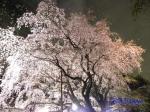 六義園のしだれ桜ライトアップ_14