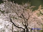 六義園のしだれ桜ライトアップ_15