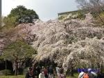 小石川後楽園のお花見_1